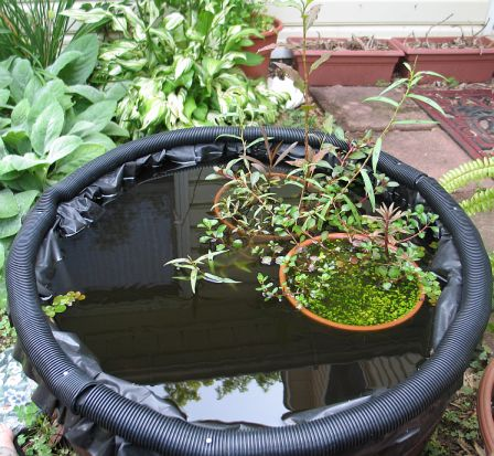 My Emersed Pond Setup Warning 56k Plant Physiology