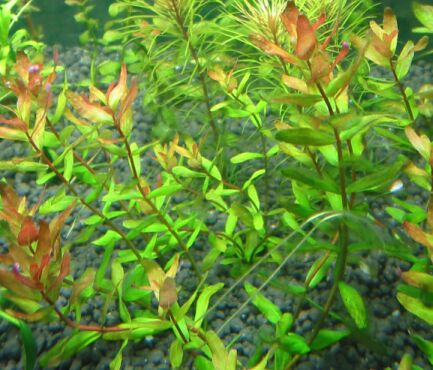 rotala macrandra green rotala rotundifolia green and